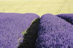Lavendel stellt snowshill Lavendelbauernhof die cotswolds Gloucester auf stockfotos