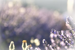 Lavendel-Traum Lizenzfreies Stockbild