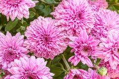Lavendel u. rosa Chrysanthemen Stockfotografie