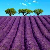 Lavendel und Bäume ansteigend Provence, Frankreich Stockbilder