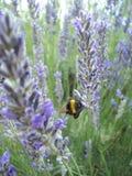 Lavendel und Biene stockfotos