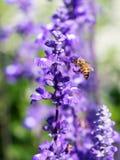 Lavendel und Biene Stockfoto