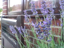 Lavendel und Biene Stockbild