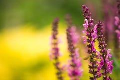 Lavendel und Biene, defocused Hintergrund Stockbilder