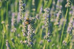 Lavendel und Biene an einem sonnigen Tag Lizenzfreie Stockbilder