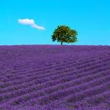 Lavendel und einsamer Baum ansteigend Provence, Frankreich lizenzfreie stockbilder