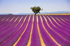 Lavendel und einsamer Baum ansteigend Provence, Frankreich lizenzfreie stockfotografie