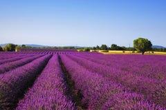 Lavendel und einsamer Baum Provence, Frankreich stockfoto