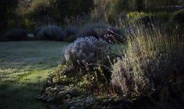 Lavendel und eisiger Garten im Morgenlicht Lizenzfreie Stockbilder