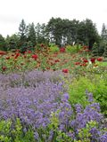 Lavendel und Rosen Stockfotos