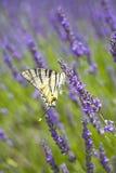 Lavendel und Schmetterling Lizenzfreie Stockbilder