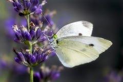Lavendel und Schmetterling Stockfotos