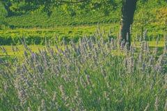 Lavendel und Weinberge in einem Garten Stockfotografie