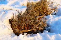Lavendel unter Schnee Stockbilder