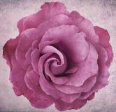 Lavendel van Grunge nam toe Stock Fotografie