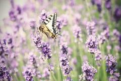 Lavendel & vlinder Stock Foto's