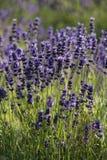 Lavendel waar op een gebied Royalty-vrije Stock Foto's