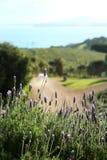 Lavendel in Waiheke-eiland in Nieuw Zeeland Royalty-vrije Stock Afbeeldingen