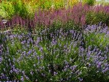 Lavendel y otras flores Fotos de archivo libres de regalías