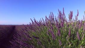 Lavendel in zuiden van Frankrijk stock footage
