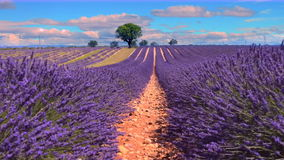 Lavendel in zuiden van Frankrijk stock videobeelden