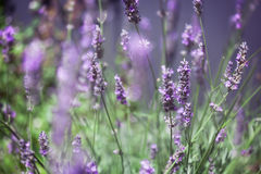 Lavendelachtergrond Stock Afbeelding