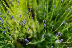 Lavendelanlage Stockbild
