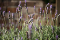 Lavendelanlage stockfotos