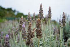 Lavendelanlage Lizenzfreie Stockfotografie