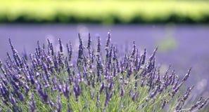 Lavendelanlage in der Blüte stockbild