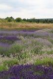 Lavendelanlagen Lizenzfreies Stockfoto