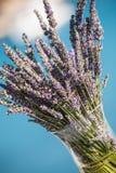 Lavendelar Royaltyfria Bilder