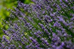 Lavendelar Royaltyfria Foton