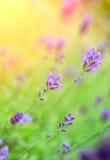 lavendelar Royaltyfri Fotografi