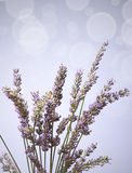 Lavendelbündel bokeh Lizenzfreies Stockbild