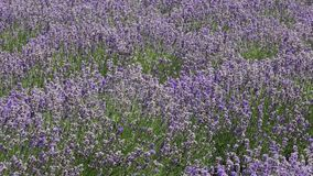 Lavendelbüsche stock footage