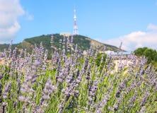 Lavendelbüsche in der Mitte von Tiflis stockfotografie
