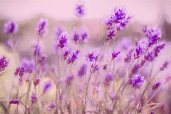 Lavendelbakgrund Arkivfoto