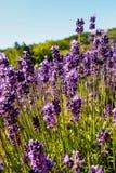 Lavendelbauernhof, Bauernhof tomita Stockfotos