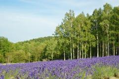 Lavendelblüte im Sommer, Japan Lizenzfreie Stockbilder