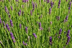 Lavendelbloei Stock Afbeeldingen