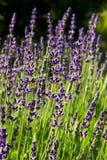 Lavendelbloei Stock Fotografie