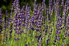 Lavendelbloei Royalty-vrije Stock Afbeelding