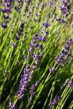 Lavendelbloei Stock Foto's