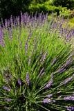 Lavendelbloei Stock Afbeelding