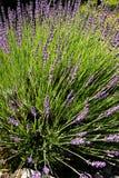 Lavendelbloei Royalty-vrije Stock Fotografie