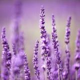 Lavendelbloem Royalty-vrije Stock Foto's
