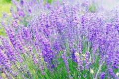 Lavendelbloem Royalty-vrije Stock Afbeelding