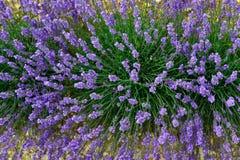 Lavendelbloem Stock Afbeeldingen