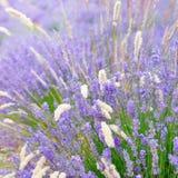Lavendelbloem Stock Fotografie